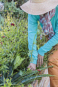 Woman weeding a sow-thistle in a bed in summer.