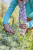 Woman pruning a sage in a Mediterranean garden, in summer.