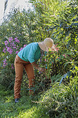 Woman planting a perennial persicaria in a bed in late summer