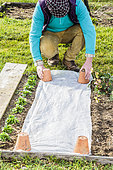 Man protecting a spring seedling with a forcing veil. Wedging with upturned pots.