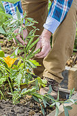 Man harvesting beans in a vegetable patch.