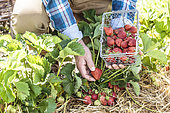 Man harvesting strawberries in a vegetable garden.