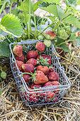 Strawberry harvest atmosphere in the garden.