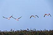 Great Flamingos (Phoenicopterus ruber roseus) in flight, Lake of the Galabert, Camargue, France