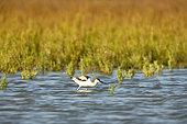 Pied Avocet (Recurvirostra avosetta) feeding, Lake of the Galabert, Camargue, France