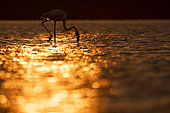 Greater Flamingo (Phoenicopterus ruber roseus) at sunset, Lake of the Galabert, Camargue, France