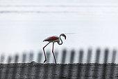 Greater Flamingo (Phoenicopterus ruber roseus) walking, Lake of the Fangassier, Camargue, France