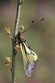 Butterfly-lion (Libelloides coccajus), Gard, France