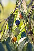 Fruits of European Hackberry (Celtis australis) 'Variegata', gard, France