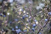 Blackthorn (Prunus spinosa) flowers in autumn, Gard, France