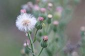 Flax-leaf fleabane (Erigeron bonariensis) flowers, Gard, France