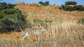 Cheetah (Acinonyx jubatus) walking stalking prey in Kgalagadi transfrontier park, South Africa