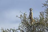 Meerkat (Suricata suricatta) in alert standing on a shrub in Kgalagadi transfrontier park, South Africa