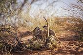 Meerkat (Suricata suricatta) famliy group bonding and playing in Kgalagadi transfrontier park, South Africa