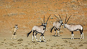 Three South African Oryx (Oryx gazella) and calf in desert area in Kgalagadi transfrontier park, South Africa