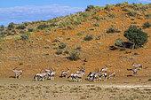 South African Oryx (Oryx gazella) herd in desert habitat in Kgalagadi transfrontier park, South Africa