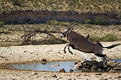 South African Oryx (Oryx gazella) jumping over waterpond in Kgalagadi transfrontier park, South Africa