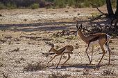 Springbok (Antidorcas marsupialis) mother an calf running in Kgalagari transfrontier park, South Africa