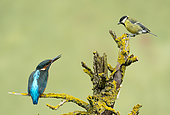 Kingfisher (Alcedo atthis) perched on a branch and threatnig a great tit