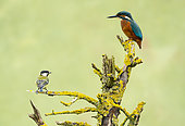 Kingfisher (Alcedo atthis) and great tit (Parus major) perched on a branch