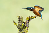 Kingfisher (Alcedo atthis) perched on a branch and wings stretching, England