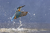 Kingfisher (Alcedo atthis) coming out water, England