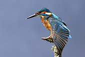 Kingfisher (Alcedo atthis) stretching his wing, England