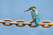 Kingfisher (Alcedo atthis) perched on a chain, England
