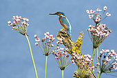 Kingfisher (Alcedo atthis) perched amongst Flowering rush (Butomus umbellatus), England