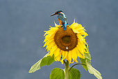 Kingfisher (Alcedo atthis) perched on a sunflower (Helianthus annuus), England