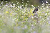 Little owl (Athena noctua) perched amongst flowers, England