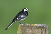 Pied wagtail (Motacilla alba) perched on a post, England