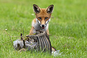 Red fox (Vulpes vulpes) playing with an old flower pot, England