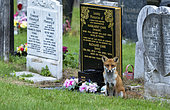 Red fox (Vulpes vulpes) sitting near a tombstone, England