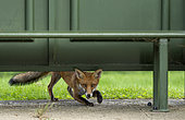 Red fox (Vulpes vulpes) under a bus shelter seat, England