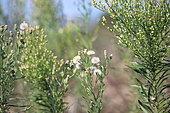 Flax-leaf fleabane (Erigeron bonariensis) and Horseweed (Erigeron canadensis) in a wasteland, Gard, France