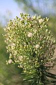 Horseweed (Erigeron canadensis) in a wasteland, Gard, France