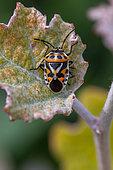 Shield Bug (Eurydema ornatum) on leaf, Gard, France