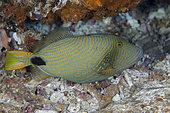 Orange-lined Triggerfish (Balistapus undulatus), Gili Mimpang dive site, Candidasa, Bali, Indonesia