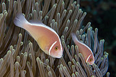 Pair of Pink Anemonefish (Amphiprion perideraion) in Magnificent Sea Anemone (Heteractis magnifica), Gili Tepekong dive site, Candidasa, Bali, Indonesia