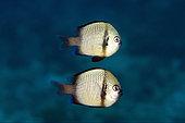 Pair of Reticulated Dascyllus (Dascyllus reticulatus), Crystal Bay Wall dive site, Padang Bai, Bali, Indonesia