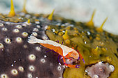 Emperor Shrimp (Zenopontonia rex) on Leopard Sea Cucumber (Bohadschia argus) with papillae, Crystal Bay Wall dive site, Padang Bai, Bali, Indonesia