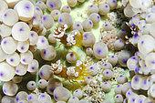 Pair of Squat Shrimps (Thor amboinensis) in Sea Anemone (Heteractis sp), Crystal Bay Wall dive site, Padang Bai, Bali, Indonesia