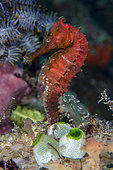 Estuary Seahorse (Hippocampus kuda), with colony of Robust Sea Squirts Tunicate (Atriolum robustum), Crystal Bay Wall dive site, Padang Bai, Bali, Indonesia