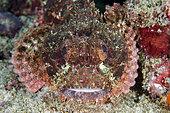 Tasseled Scorpionfish (Scorpaenopsis oxycephala), Crystal Bay Wall dive site, Padang Bai, Bali, Indonesia