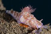 Three-lobed T-Bar Nudibranch (Ceratosoma trilobatum), Jetty dive site, Padang Bai, Bali, Indonesia
