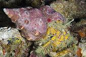 Hairy Yellow Hermit Crab (Aniculus maximus) in Trapezium Horse Conch (Pleuroplaca trapezium) shell, Gili Tepekong dive site, Candidasa, Bali, Indonesia