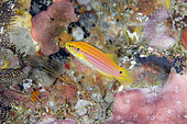 Yellow form of Twospot Slender Hogfish (Bodianus bimaculatus), Gili Tepekong dive site, Candidasa, Bali, Indonesia