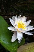 White water lily (Nymphaea alba), Pyrénées-Orientales, France