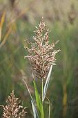 Common reed (Phragmites australis) panicle in autumn, Gard, France